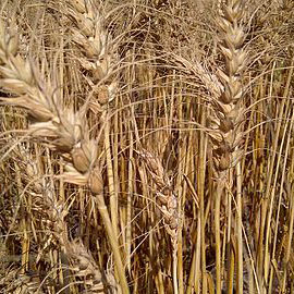 cps wheat