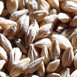 cdc copeland barley
