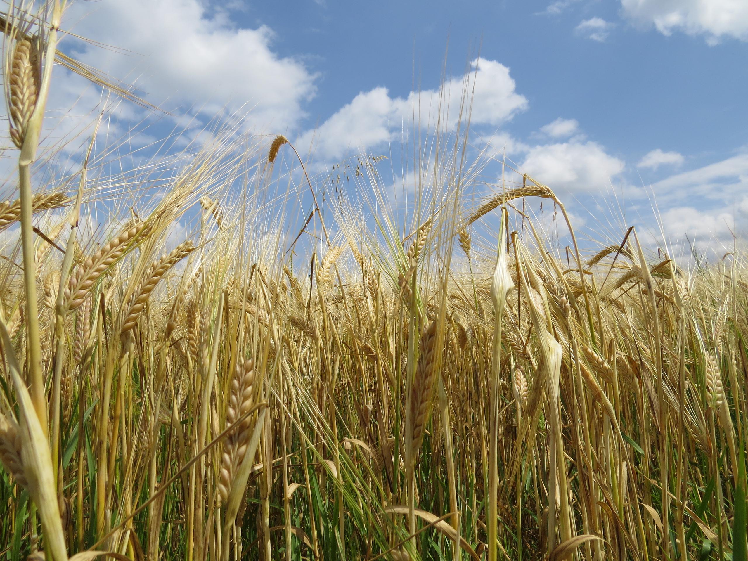 Barley Alberta, CA
